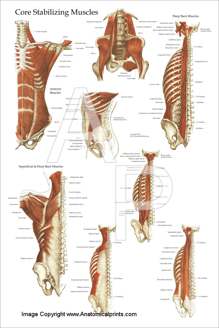 Core Muscle Anatomy Poster