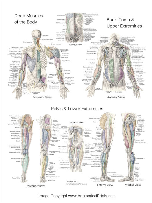 Muscle And Nerve Diagram Of The Human Body 116