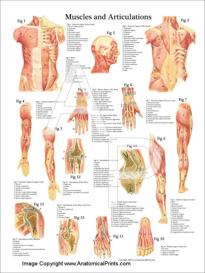 Articulations in anatomy