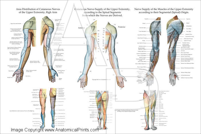 Nerve Innervation of Upper Extremities Poster