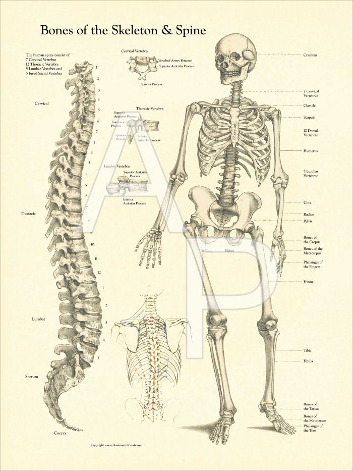 Skeleton and Spine Poster