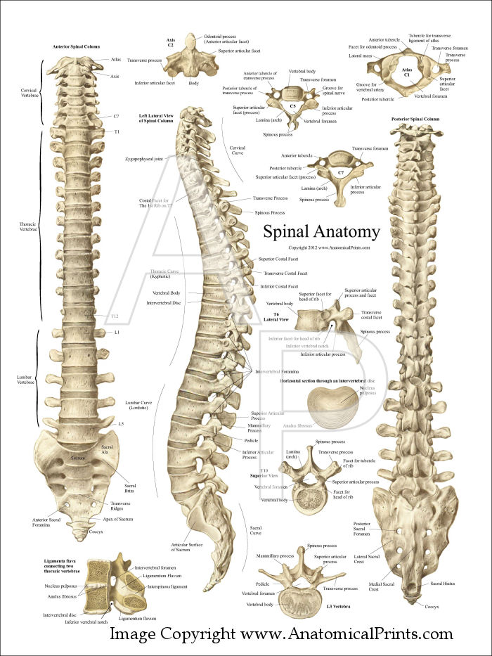 Human skeleton back spine - photo#10